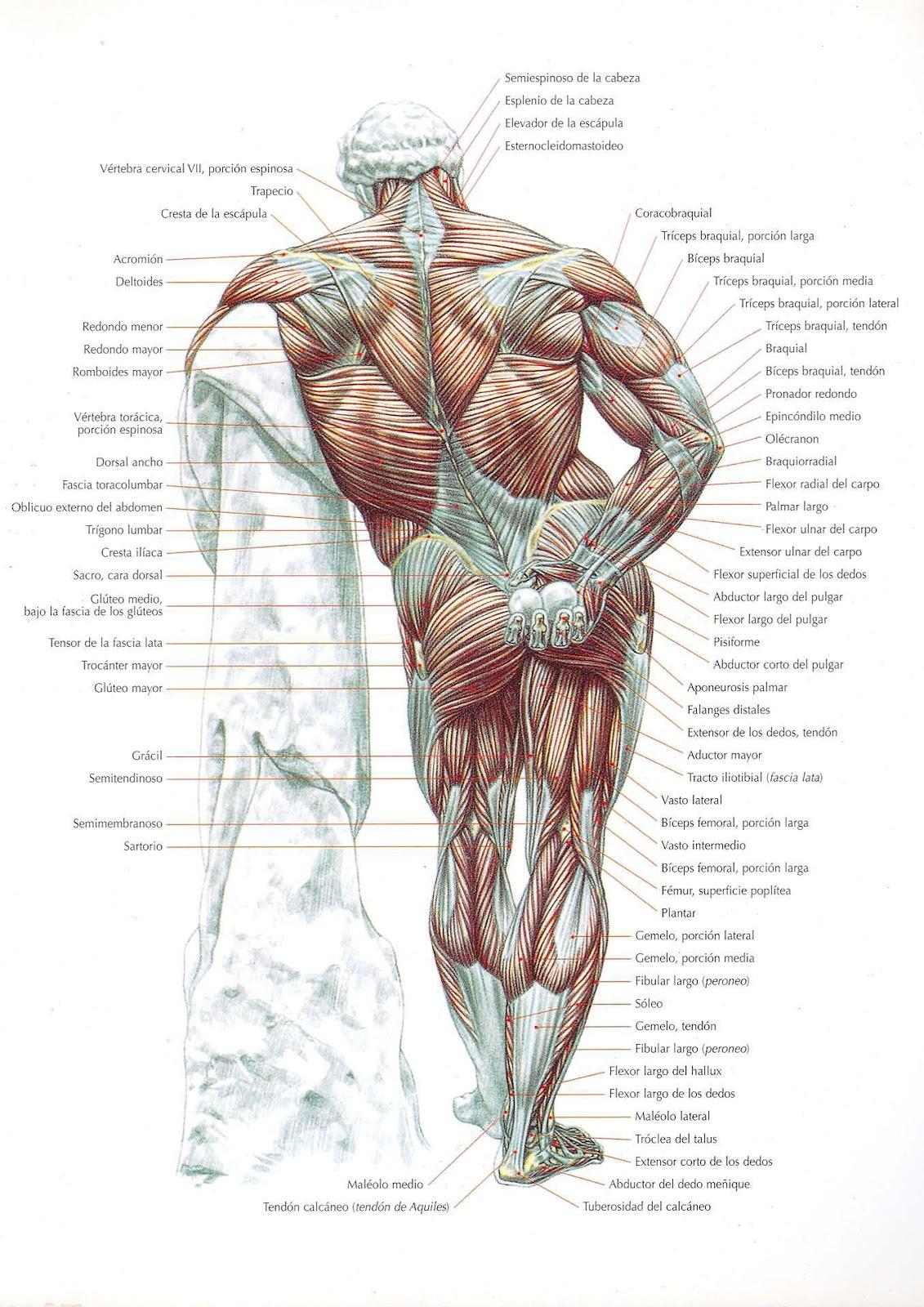 Encuentren el anchísimo músculo de la espalda - Target Tape - Dolor ...